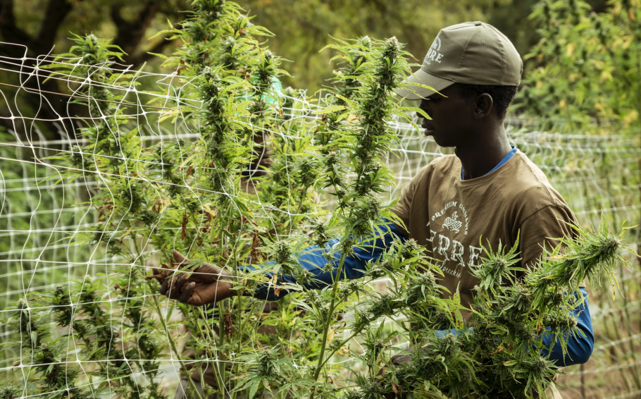 Principios para la regulación legal responsable del cannabis