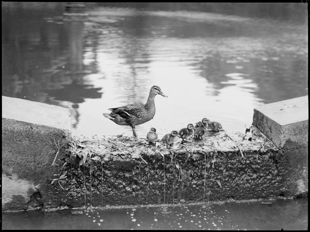 black and white photo of duck