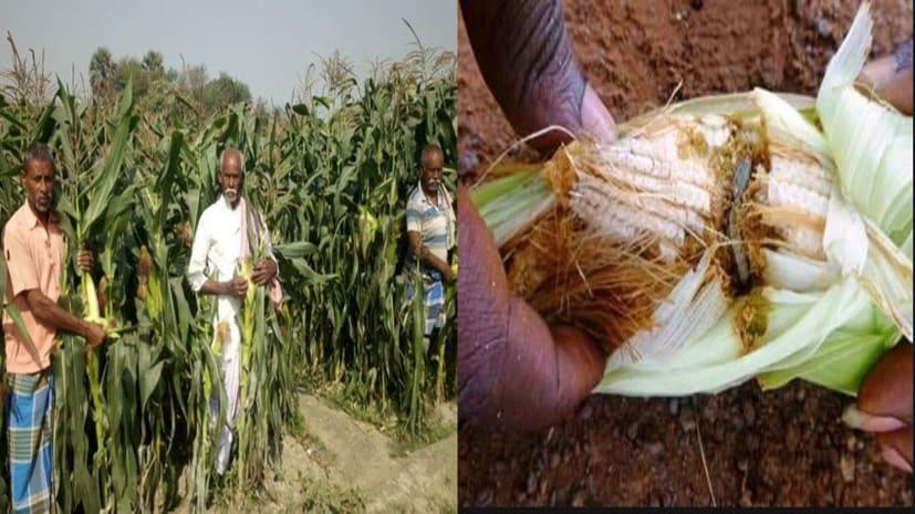 BIG BREAKING : अमेरिका से आये कीड़ों ने बिहार के किसानों को किया जीना हराम, दक्षिण अफ्रीका के रास्ते पहुंचा भारत