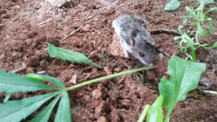 चूहे को लगी थी नशे की लत, गांजा के ज्यादा पत्ते खाने से हुआ बेहोश