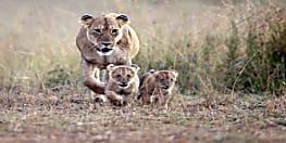 नयी उम्मीद: पैदा हुआ शेर का पहला टेस्ट ट्यूब बेबी