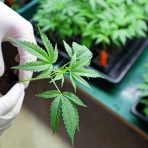 medical marijuana and firearm possesion pennsylvania