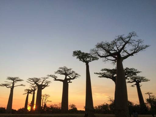 More Baobab trees