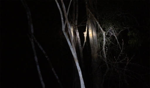 The faint outline of little ears on a tree illuminated by a flashlight in the dark forest
