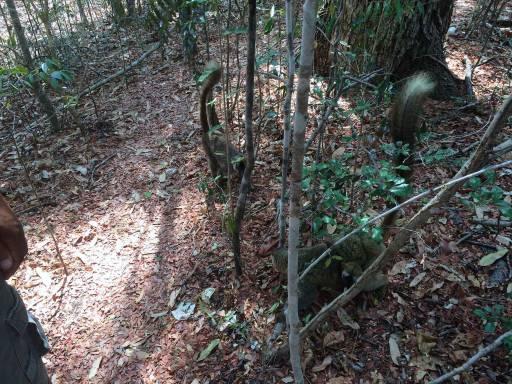 brown lemurs at our feet