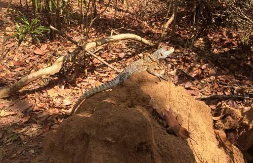 Lizard sunbathing on a rock
