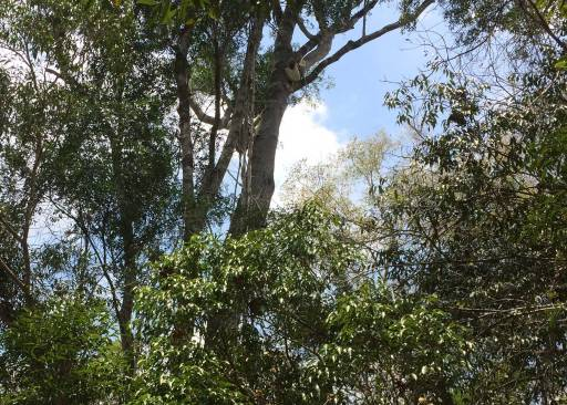 3 white Sifaka lemurs hiding up in the trees