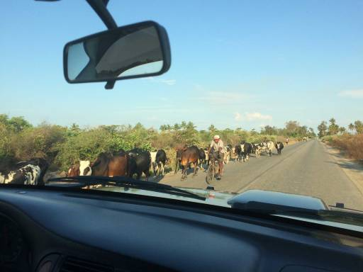 A line of cattle on the side of the road