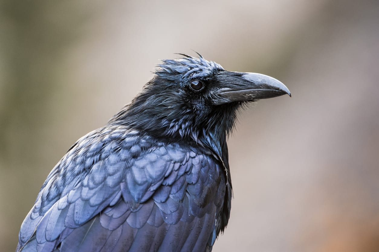 The raven of Poe in London