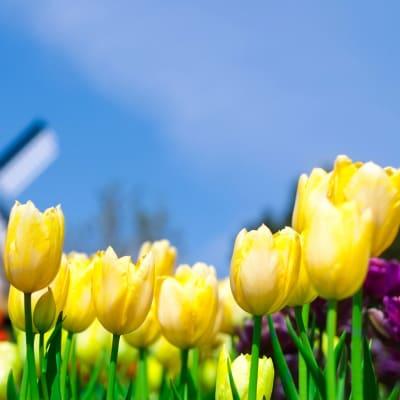 Mit blomstrende Holland