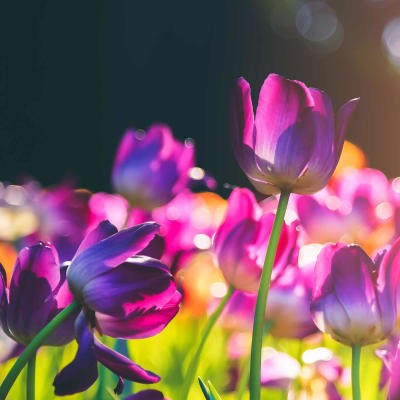 Holland i blomst - Raalte