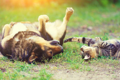 dog and cat rolling in the grass playing together
