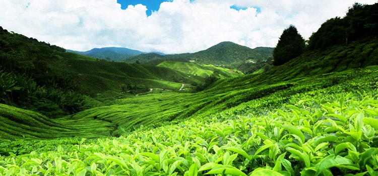 assam-tea-plantation