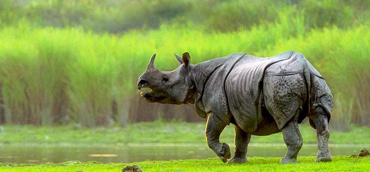 rhinoceros-kaziranga