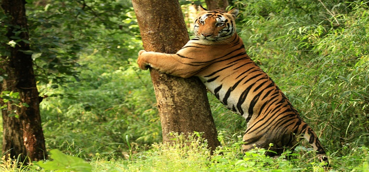 Tiger_Kanha_National_Park