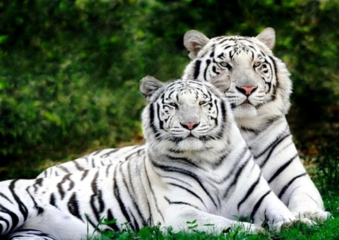 white-tiger-in-kanha-national-park