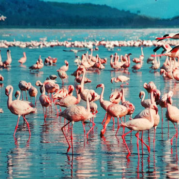 pink-flamingo-lake-nakuru-kenya