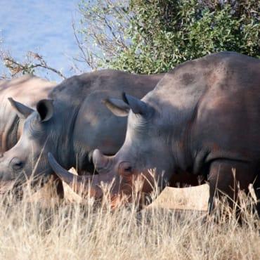 rhinos-southafrica