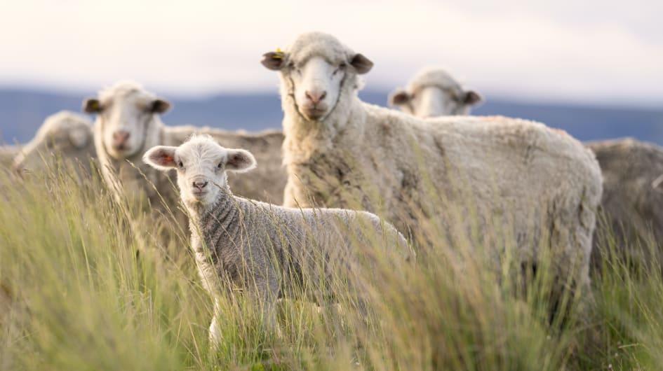 Regenerative Wool | Fighting Climate Change Video