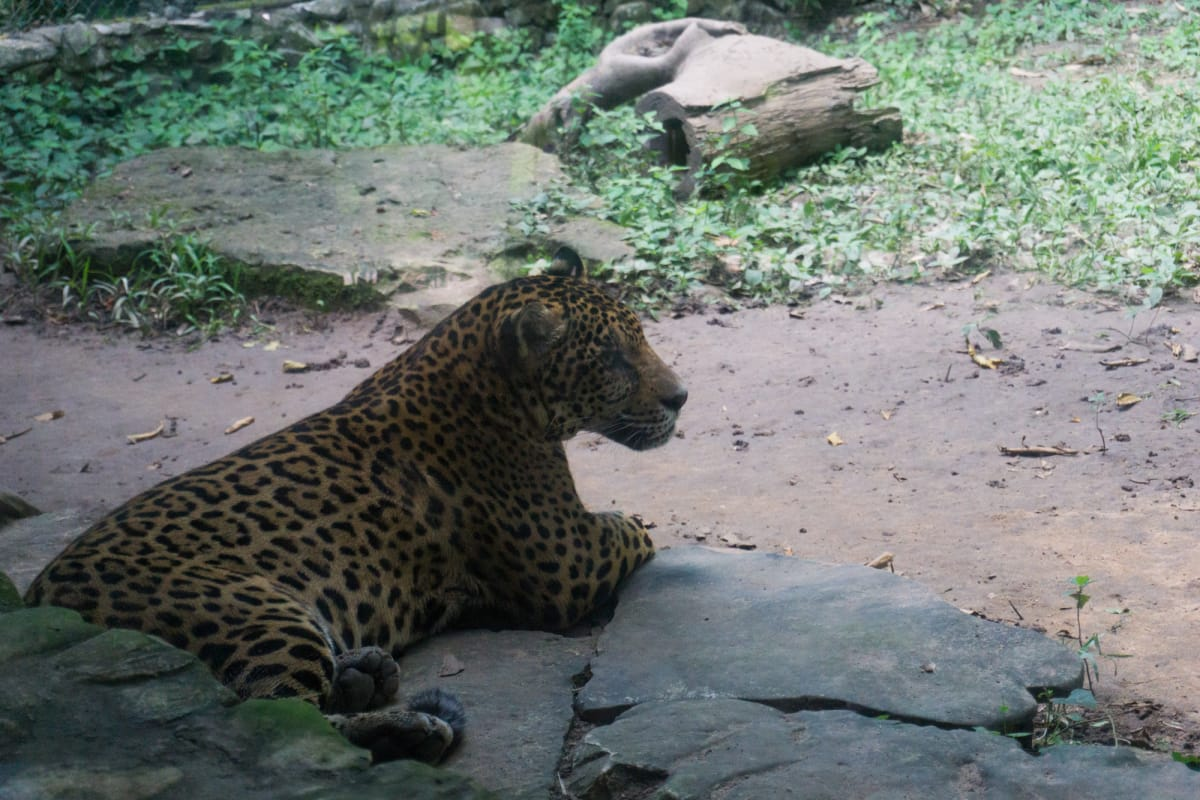 a leopard at aluxes