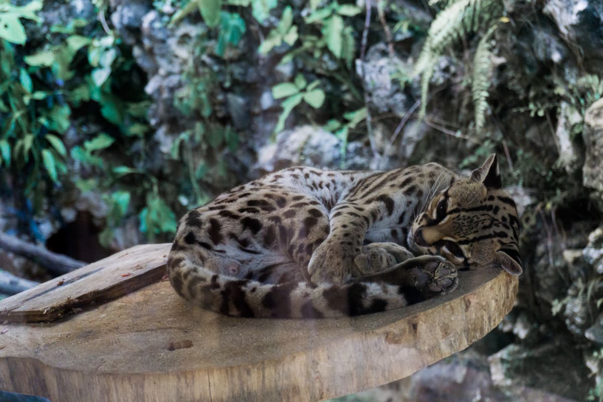 dwarf leopard at the ecoparque aluxes
