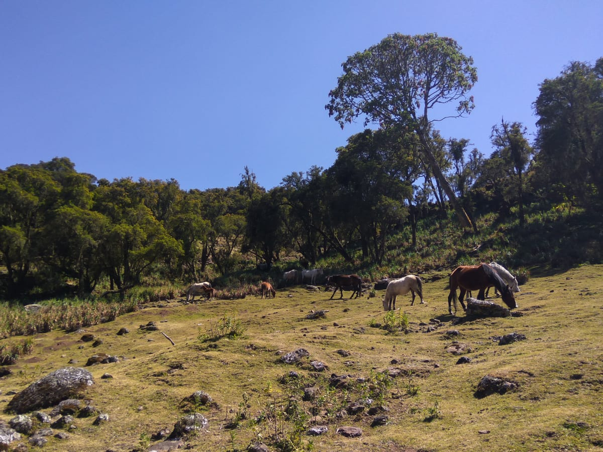 horses in the bale mountains
