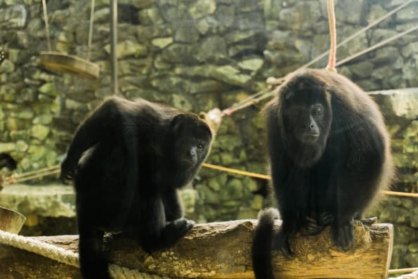 howler monkeys at ecoparque aluxes