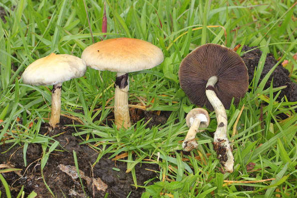 Psilocybe Cubensis in their natural habitat