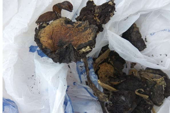 Dried Psilocybe Cubensis