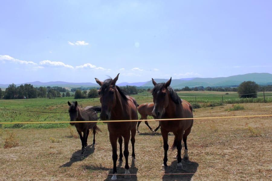 Dubravko's horses