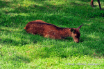 Cervo giovane