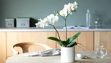Flott orkidé i full blomst på et rundt bord
