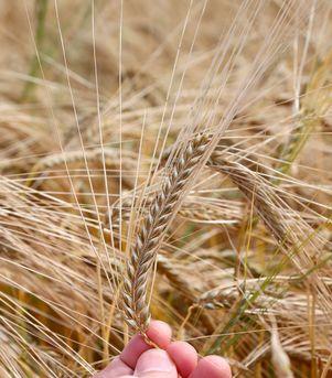 Hveteallergi, hveteintoleranse og Cøliaki