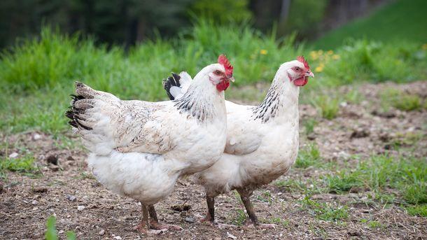 Slik lever økologisk kylling