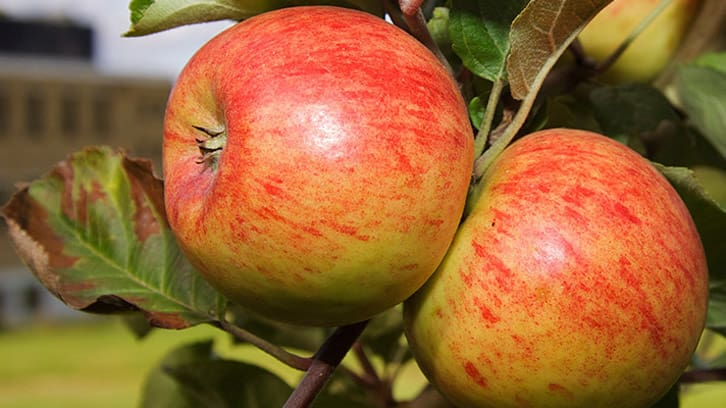 Mer norske epler – med og uten frostskade