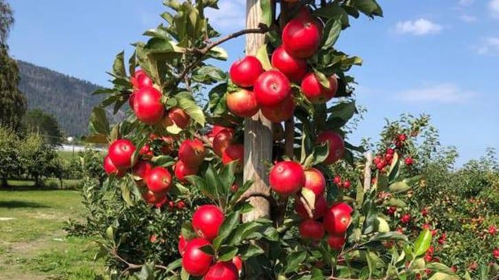Nå kommer de norske eplene