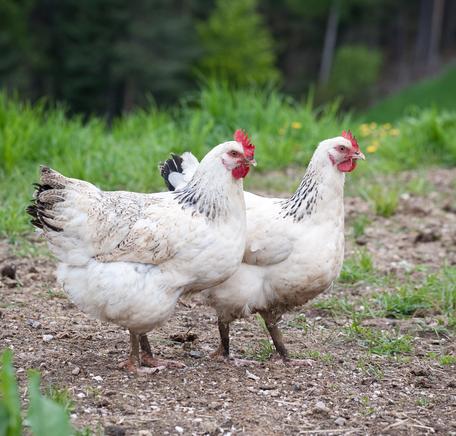 """Illustrasjonsbilde for """"Slik lever økologisk kylling"""""""