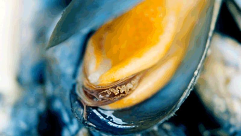 Thai blåskjell