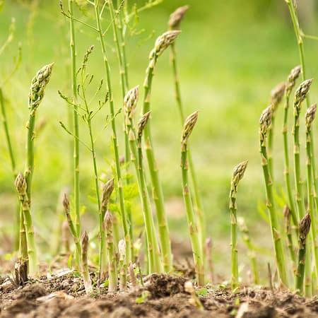 Tid for asparges