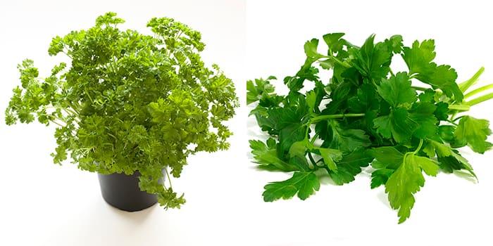 Kruspersille og bladpersille er veldig anvennelige urter.