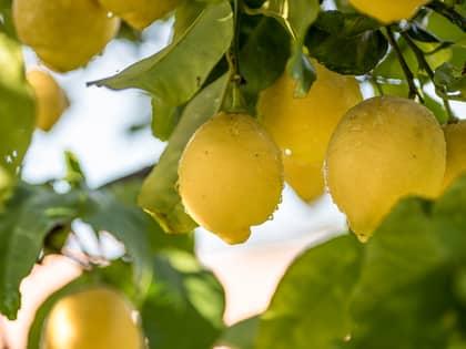 Amalfi-sitron - verdens beste sitron