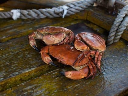 Krabbe fra Hitramat