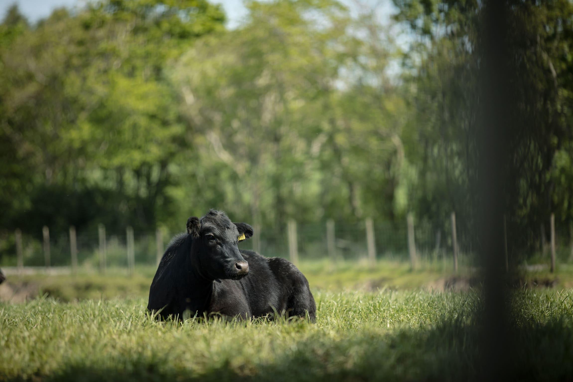 Dyrevelferd er viktig i produksjonen av angus.