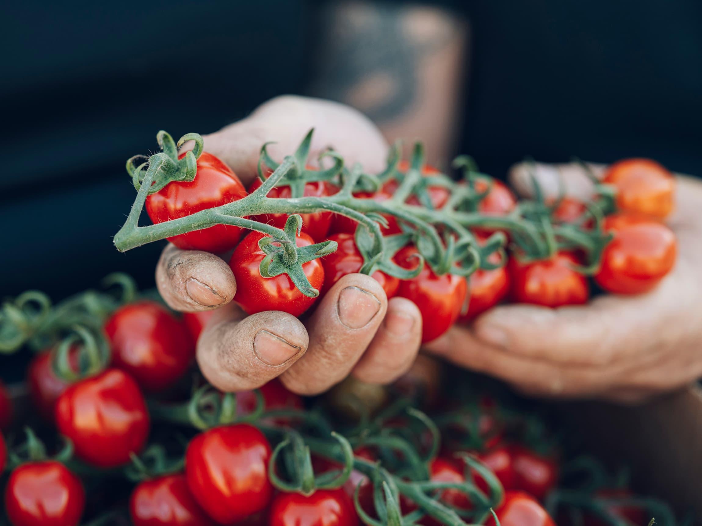 Cherrytomatene til Jacobs Utvalgte har mye lukt og fantastisk god tomatsmak.
