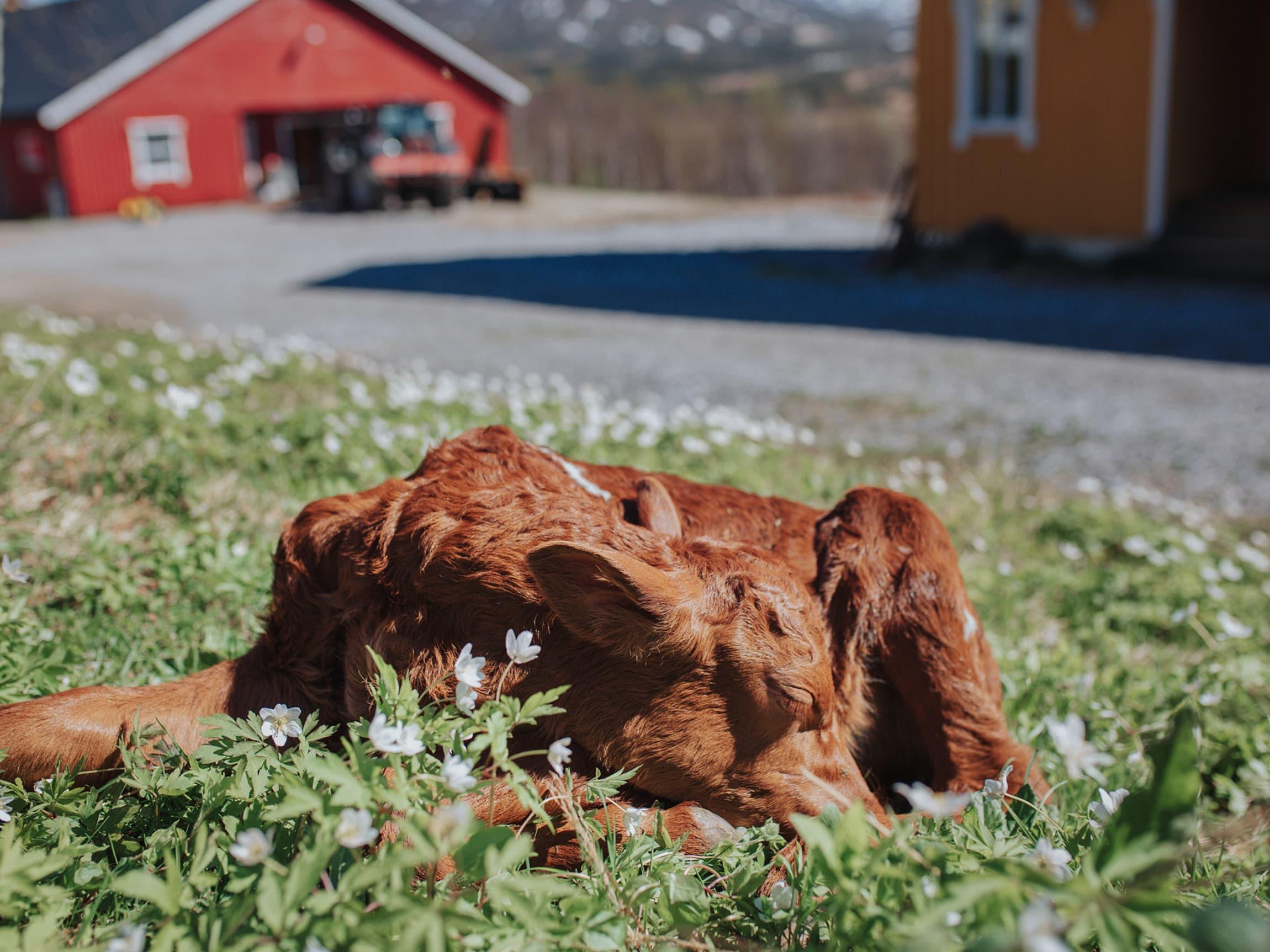 Når osten ystes på gårdsysteriet på familiegården, er melka fremdeles varm – rett fra kyrne på gården.