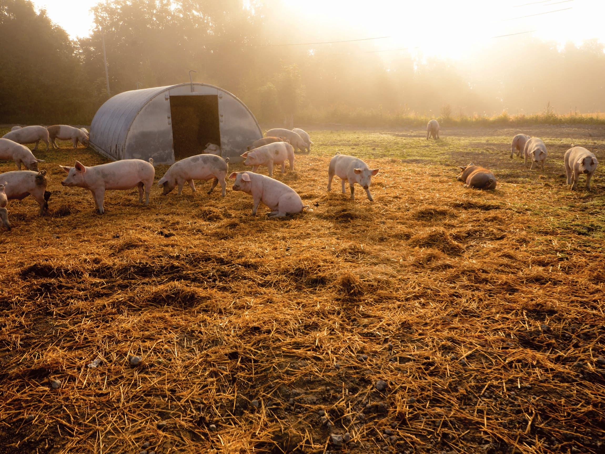 Lykkelige griser gir godt kjøtt!