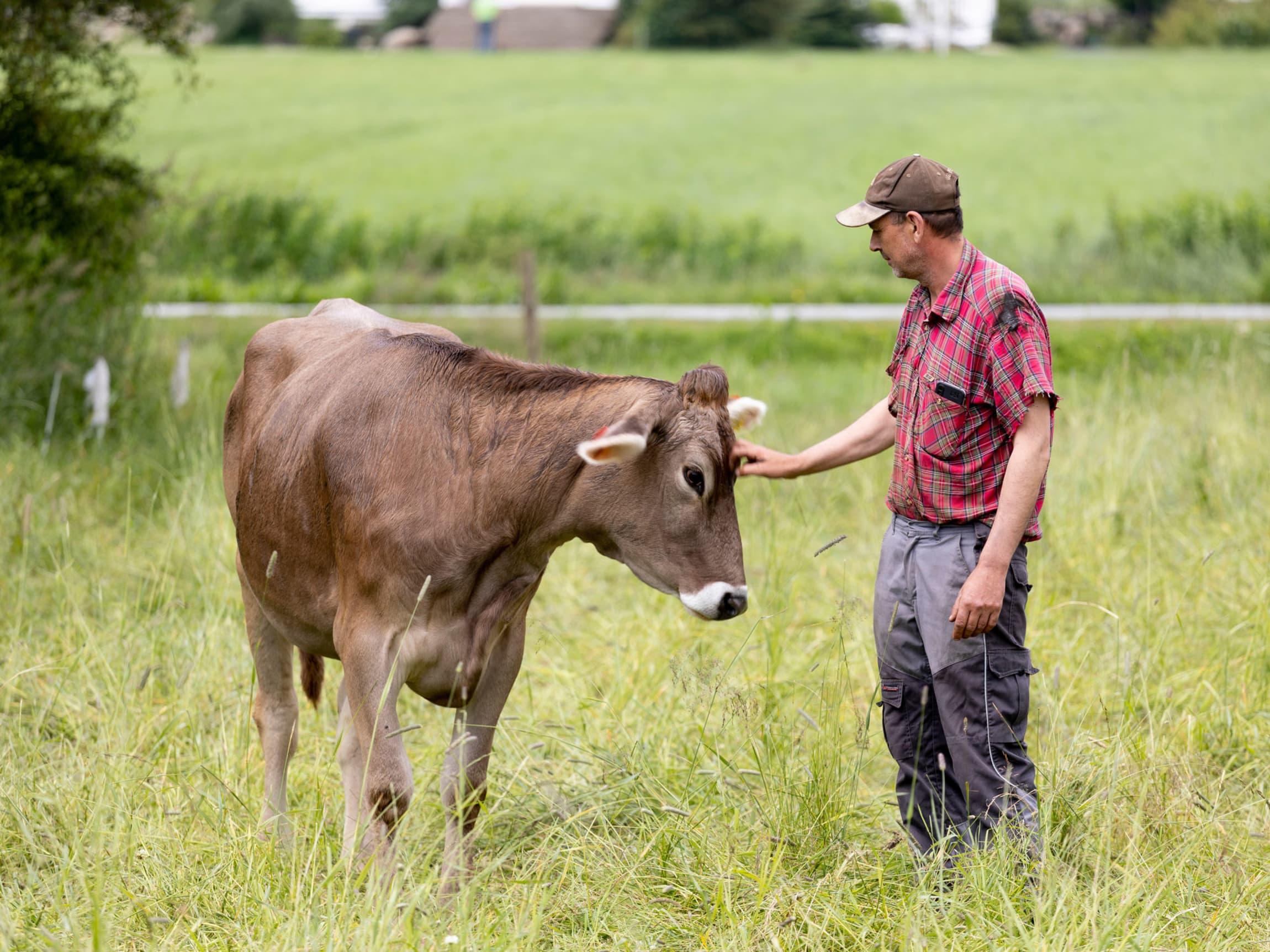 Melken kommer fra flotte Swiss Brown-kuer som beiter i frodige timotei-enger