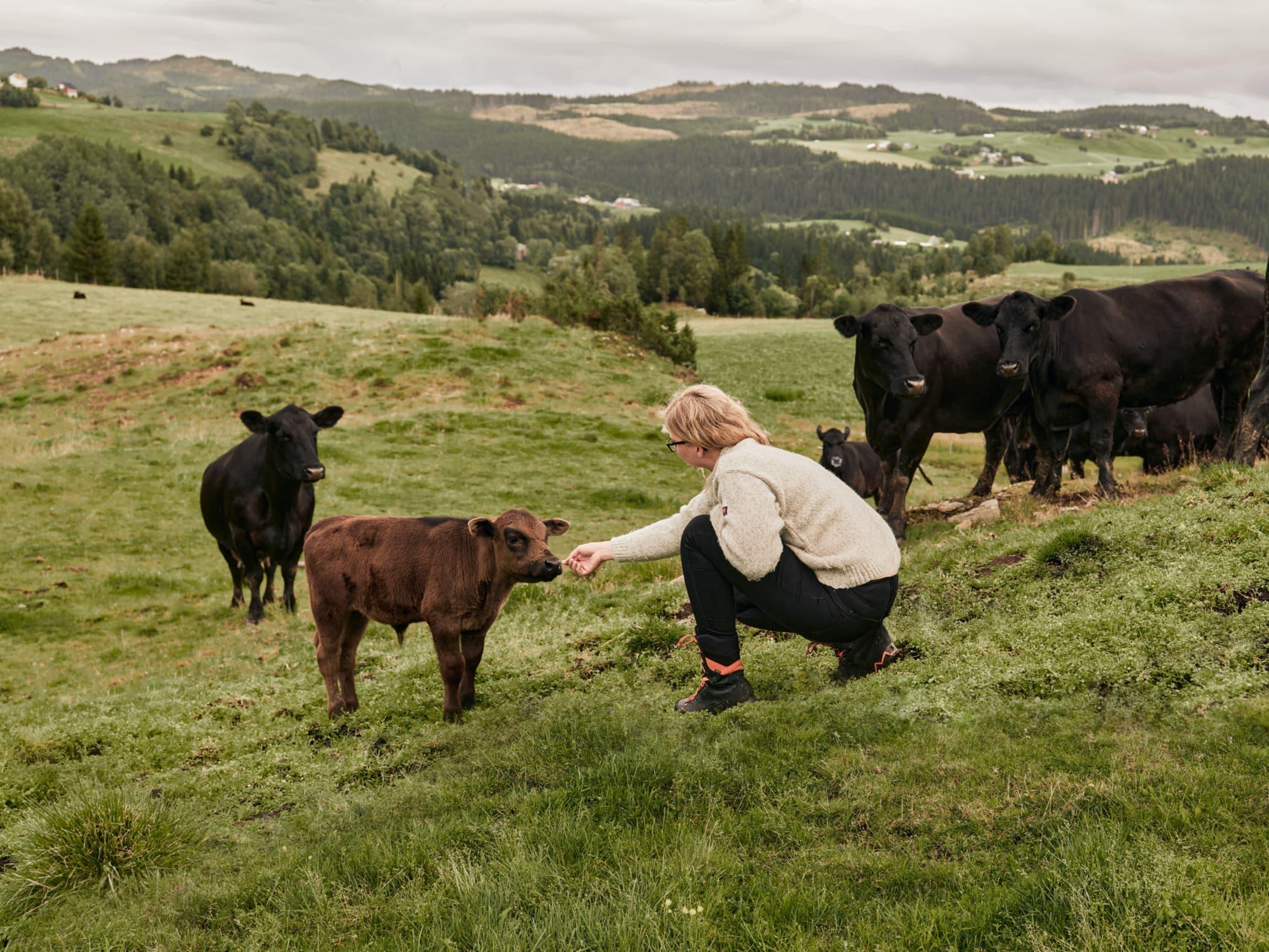 Bonden mener noe av det beste med å være Angusbonde må være under kalvingen.