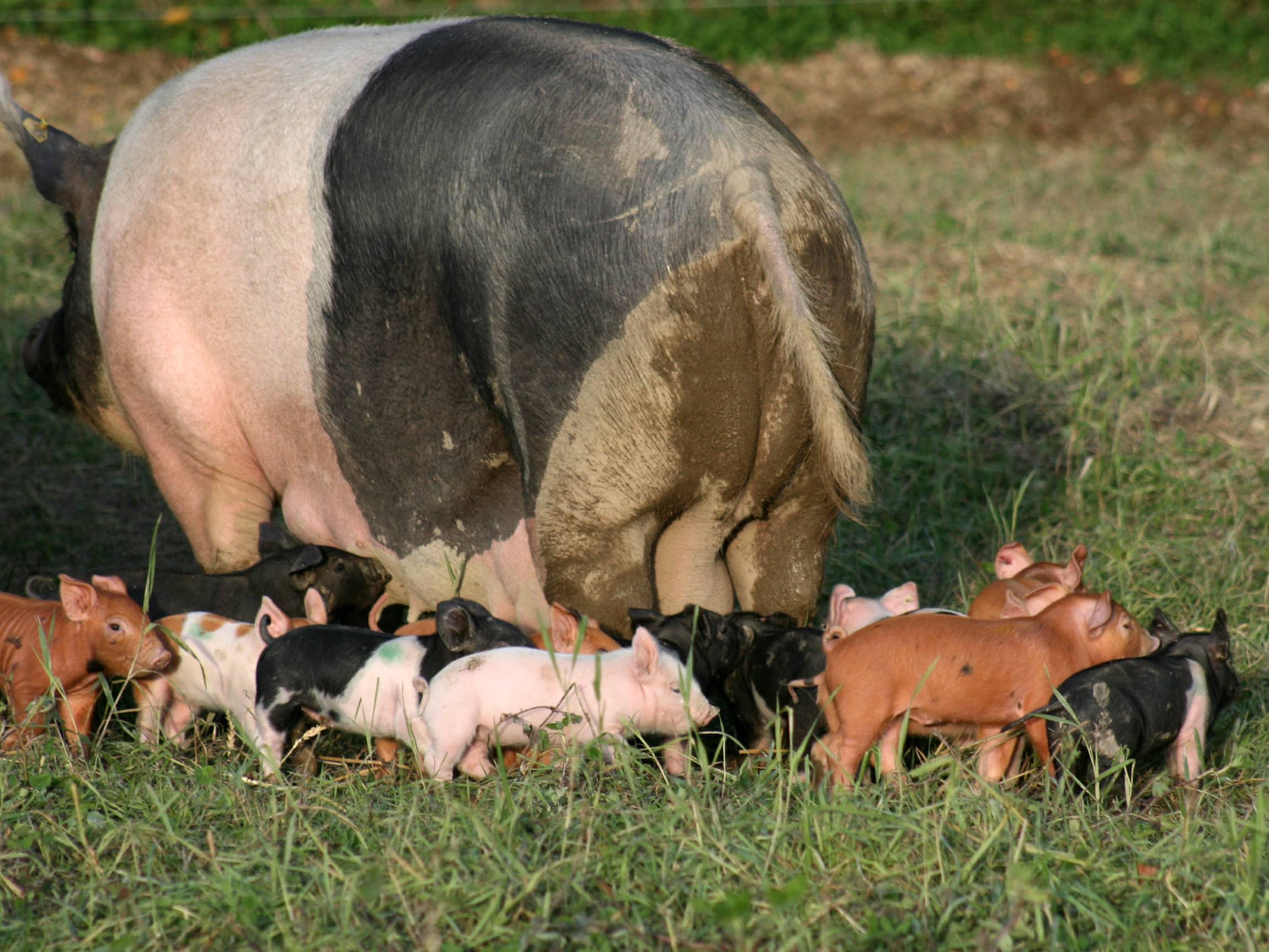 Grisene kommer fra deres faste samarbeidspartner Heinrich Jung, og er Duroc-gris, kjent for sin sakte-voksende og unike kjøttkvalitet.
