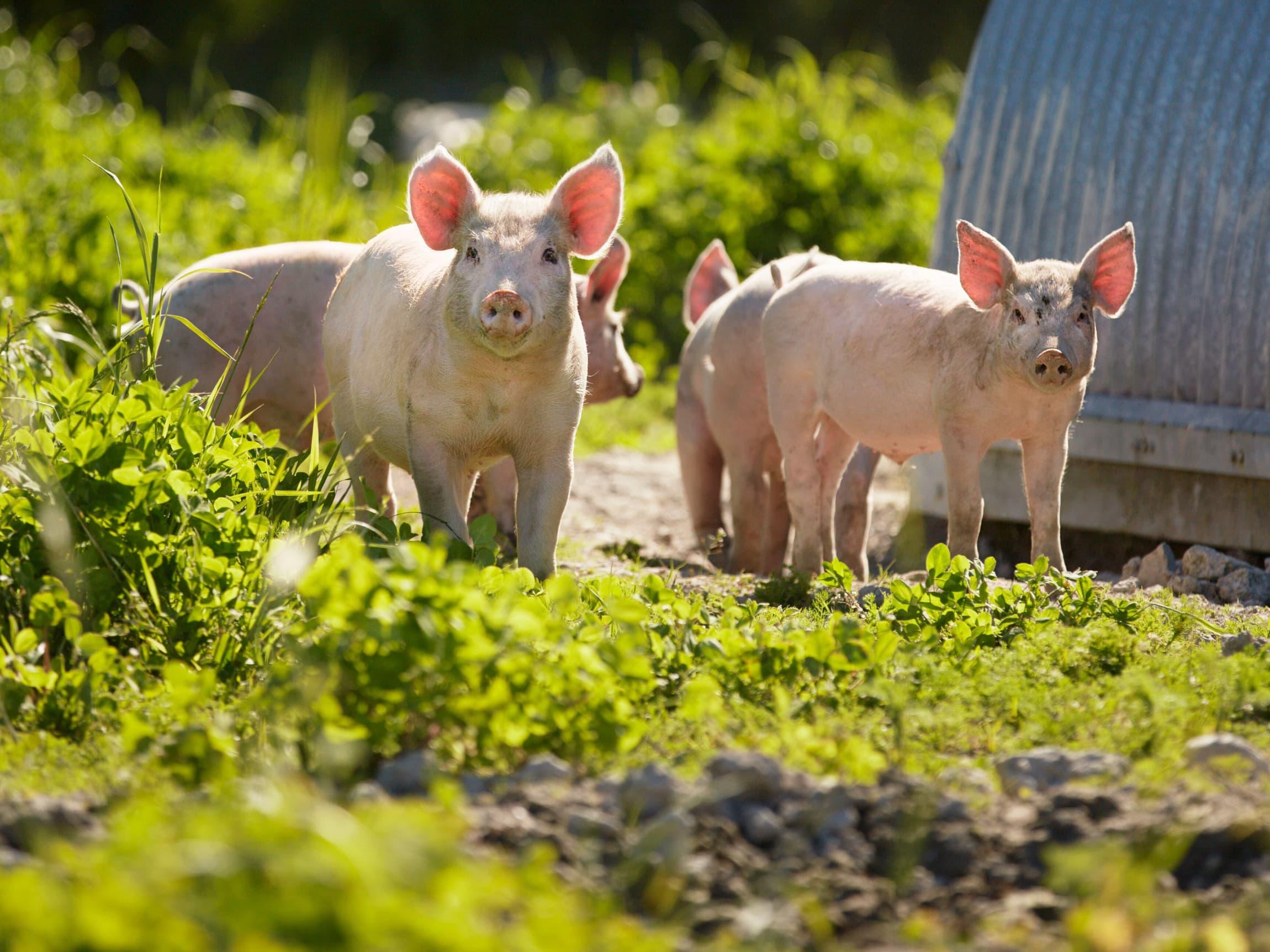 Flere velger økologisk ribbe fra Grøstad